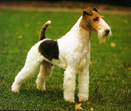 foxterrier_drotos_art-foxterrier